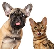 Portrait of licking cats and dogs. Isolated on white background stock photography