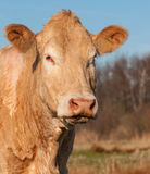 Portrait of a light brown cow Royalty Free Stock Photos