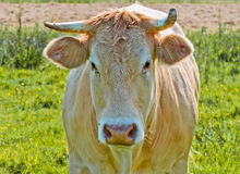 Portrait of a light brown cow in a Dutch meadow Stock Photo