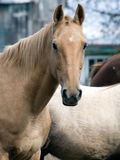 Portrait of a Light Brown Horse Royalty Free Stock Photography