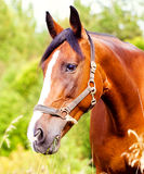 Portrait of a light brown horse in the grass. Close-up portrait of a light brown horse in the grass stock images