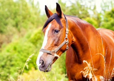 Portrait of a light brown horse in the grass. Portrait of a light brown horse in the green grass stock photos