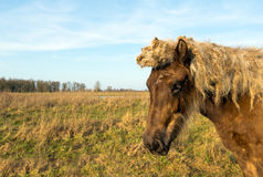 Portrait of a light brown Icelandic horse in a nature reserve Royalty Free Stock Photo