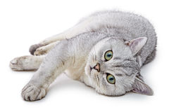 Portrait of Light Gray British Shorthair cat Stock Photography
