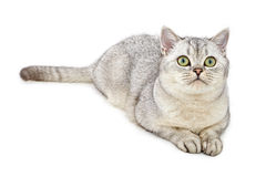 Portrait of Light Gray British Shorthair cat Stock Image