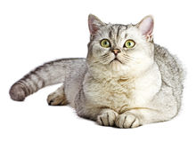 Portrait of Light Gray British Shorthair cat Stock Images