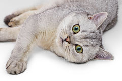 Portrait of Light Gray British Shorthair cat Royalty Free Stock Photography