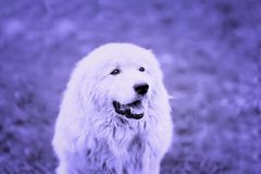 Portrait of light large fluffy dog with attentive eyes fashion toned background, selective focus. Copy space Royalty Free Stock Photos