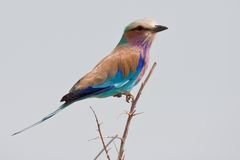 Portrait of a lilac breasted roller Stock Image