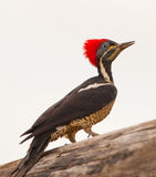 Portrait of a Lineated Woodpecker Royalty Free Stock Photo