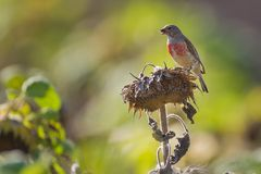 Portrait of a linnet. Royalty Free Stock Photo