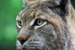 Portrait of linx Stock Photo