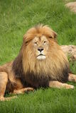 Portrait of a Lion. African Lion enjoying the sunshine in a grassy patch Royalty Free Stock Image