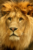 Portrait of Lion Stock Images