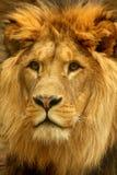 portrait of Lion Stock Images