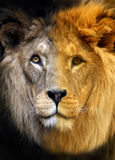 Portrait of Lion Stock Photos
