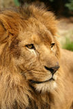 Portrait of lion. With sad eyes Stock Images