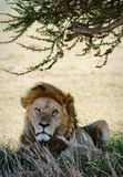 Portrait of a lion. The lonely lion hides in a shade of an acacia from the midday sun Stock Images