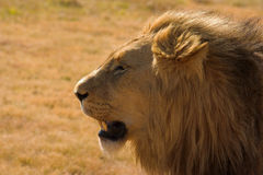 Portrait of a lion. Taken in South Africa Royalty Free Stock Image