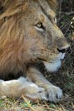 Portrait of Lion. Headshot of Alert Male Lion Royalty Free Stock Images