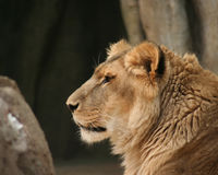 Portrait of lion. Side portrait of young male lion with tree and boulder in background Stock Images