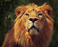 Portrait of the lion royalty free stock photo