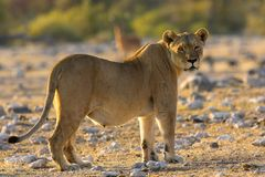 Portrait of a lion. Taken in Namibia Stock Photos