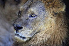 Portrait of lion. Stock Photo