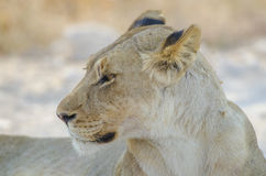 Portrait of a lion Stock Image