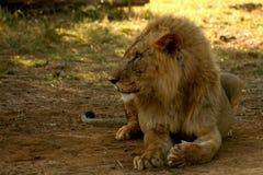 Portrait of lion. Resting in Samburu National Reserve, Kenya, Africa stock photography