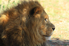 Portrait of lion Stock Photo