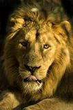 Portrait of a lion. That looks as if it has been in many fights Royalty Free Stock Images