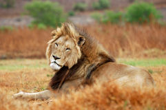 Portrait of lion royalty free stock image
