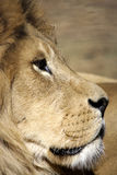 Portrait of lion Stock Image