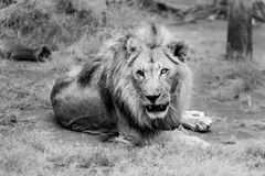 Portrait of Lion Royalty Free Stock Images