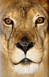 Portrait of the lion Stock Images