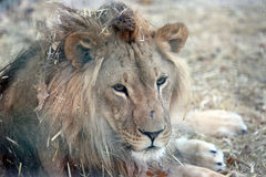 Portrait of a lion with a big mane in the dry grass Stock Photo