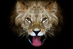 Portrait of a lion. On a black background Royalty Free Stock Photo
