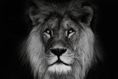 Portrait lion with black and white colour Stock Images