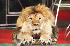 Portrait of a lion in the circus ring royalty free stock photo
