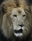 Portrait Of Lion Royalty Free Stock Photography