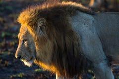 Portrait of lion Stock Photography