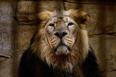 Portrait of a lion closed in a cage rock on background. Portrait of a lion closed in a cage Stock Photography