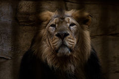 Portrait of a lion closed in a cage. Portrait of a lion closed in a cage in ZOO Ostrava Stock Photos