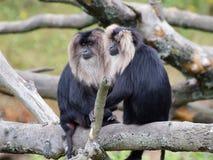 Portrait Lion-coupé la queue de deux macaques Images libres de droits