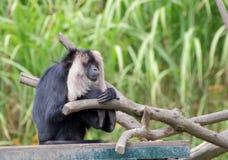 portrait Lion-coupé la queue de macaque Photo libre de droits