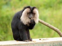 portrait Lion-coupé la queue de macaque (silenus de Macaca) Photos stock