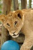 Portrait of lion cub Royalty Free Stock Images