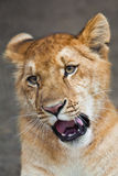 Portrait of a lion cub Stock Image