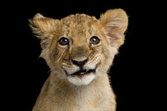 Portrait of Lion Cub. With Grin Isolated on Black Background, front view royalty free stock photography